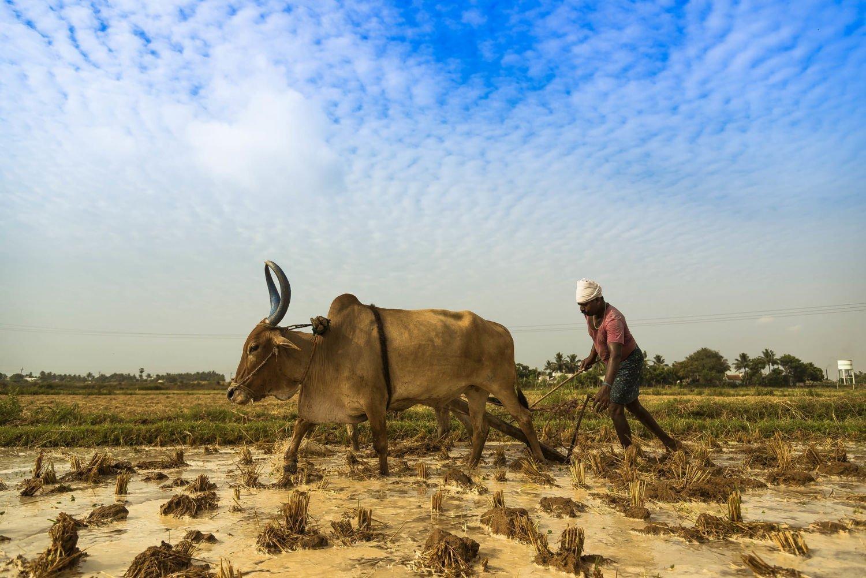 لماذا ينتحر المزارعون في الهند؟